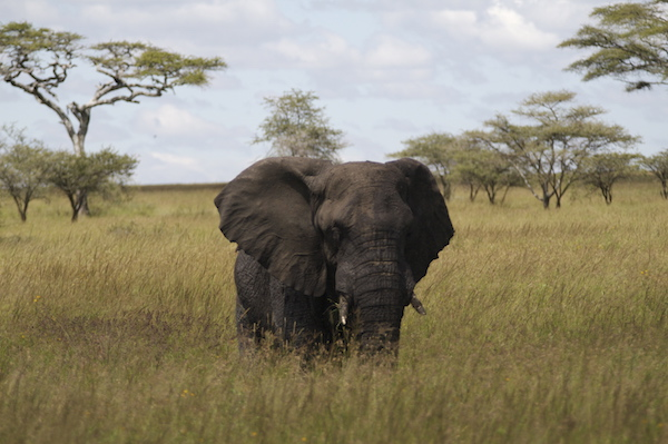 There are only about 400,000 African elephants left in our world.