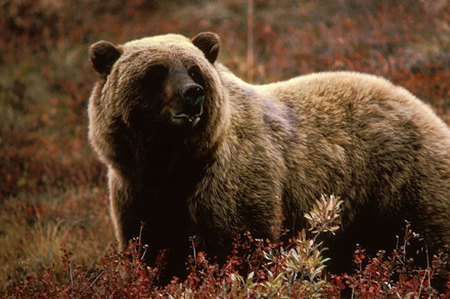 The grizzly bear trophy hunting ban will be effective as of November 30, the new NDP government announced.